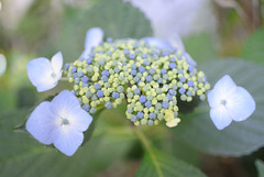 blossom(0.0), forget-me-not(0.0), annual plant(1.0), flower(1.0), hydrangea serrata(1.0), plant(1.0), macro photography(1.0), wildflower(1.0), flora(1.0), petal(1.0),
