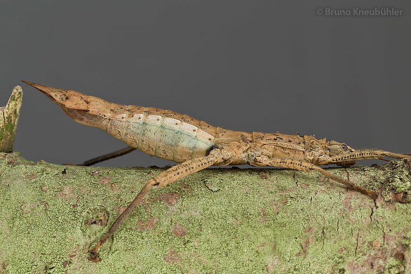 "Medaurini sp. ""Cat Tien"" - new phasmid species from Vietnam 9151459682_90c6487520_c"