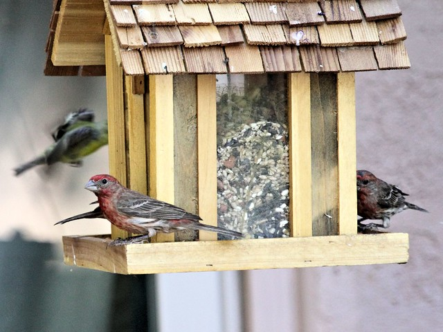 House finches 20130616