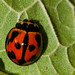 Variable Ladybird - Photo (c) Mark Yokoyama, some rights reserved (CC BY-NC-ND)