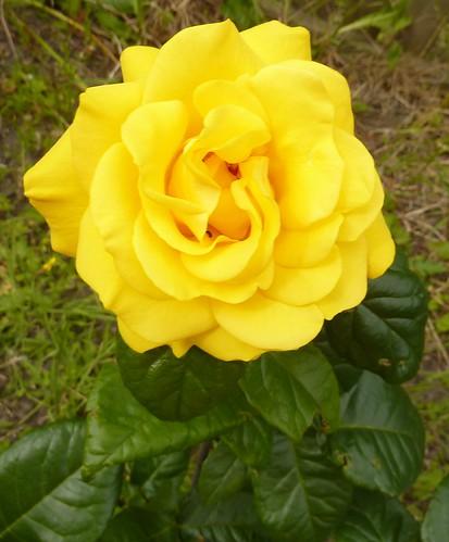 Yellow Rose by Bebopgirl1969