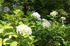 shrub(0.0), hydrangea serrata(0.0), hydrangea(1.0), flower(1.0),