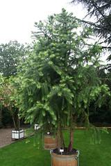 Auracariaceae