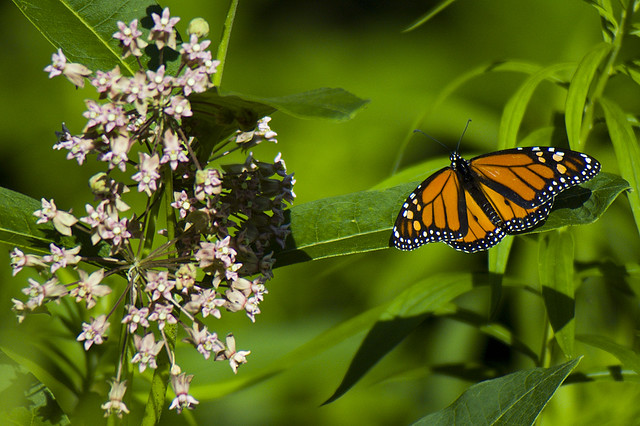 Milkweed and Monarch - by Tom LeBlanc