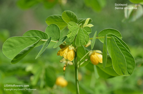Sicklepod - Senna obtusifolia by USWildflowers, on Flickr