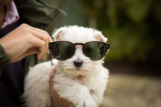 Westie Cute Funny Puppy West Highland White Terrier