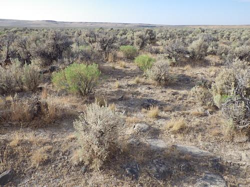 grass habit idaho annual habitat poaceae introduced rogerson cheatgrass bromustectorum coolseason chrysothamnusviscidiflorus artemisiatridentatawyomingensis