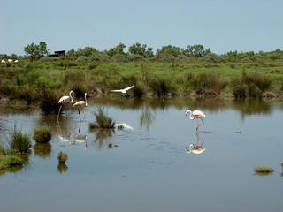 046 flamingo's