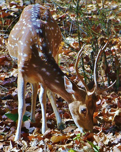 Axis Deer or Chital Deer in Bandhavgarh Tiger Preserve in India