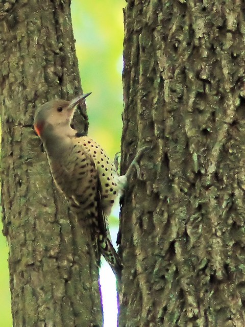 Northern Flicker female 20130903