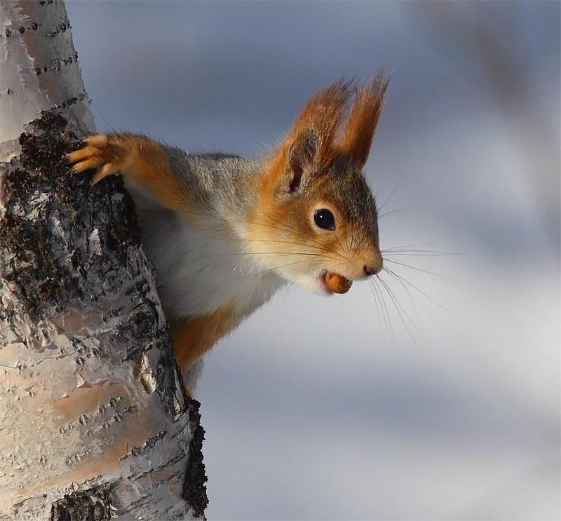 Red Squirrel Pasvik Valley