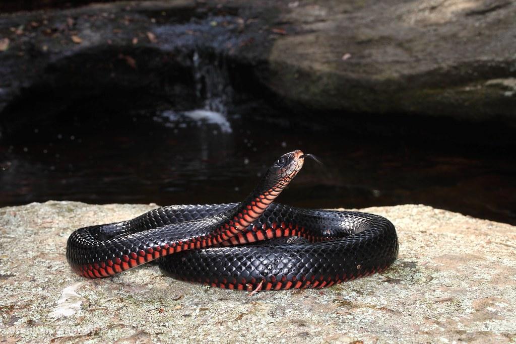 чёрная змея фото