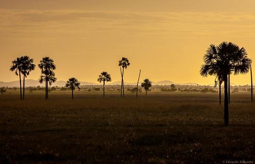 trees sunset pordosol brazil tree brasil pôrdosol arvores norte roraima