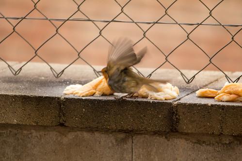 Ocells al pati. Pit-roig 3 by Escursso