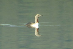 Red-throated Loon, 6/15/2013, Teslin, Yukon