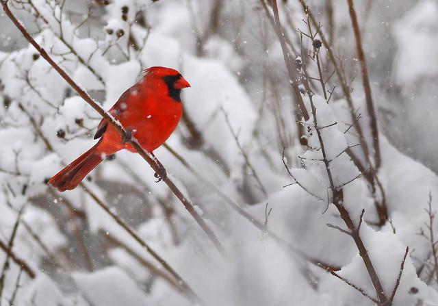 CardinalInTreeWaitingForTurn