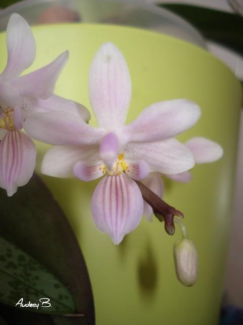 Phalaenopsis lindenii x Silbergrübe 12369743205_2b0b965051_z