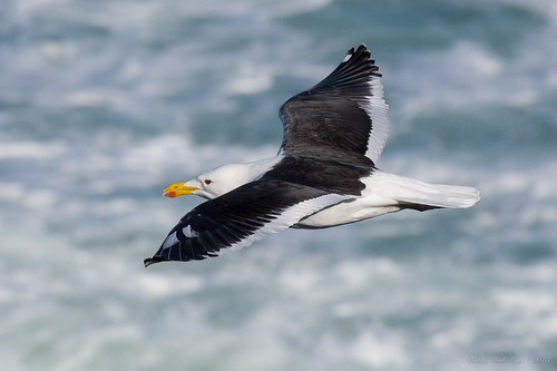 Kelp gull by andiwolfe