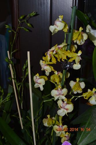 Specii si modele de orhidee parfumate - Pagina 2 12834492443_1f11aebb96
