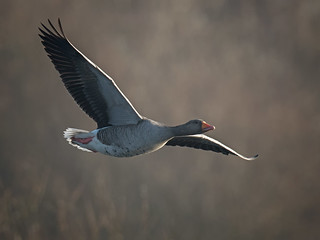 Greylag flight
