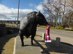 Alford Bull (Aberdeen Angus) supporting Aberdeen FC for the League Cup
