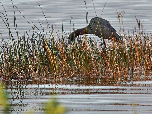 Little Blue Heron 2-20140320