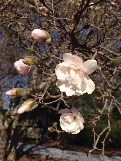 Magnolia Blossoms in North Carolina - By Rebecca Subbiah