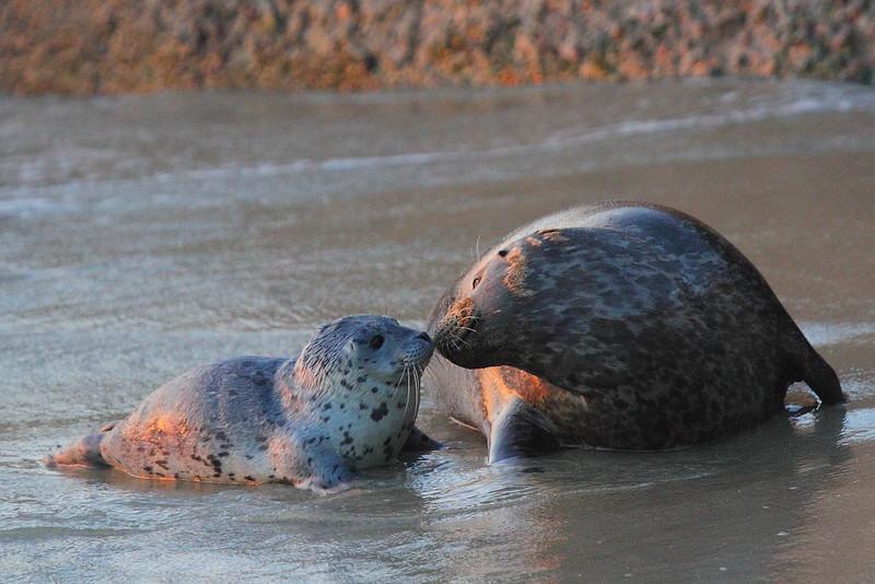 IMG_0825 Harbor Seal at Sunset