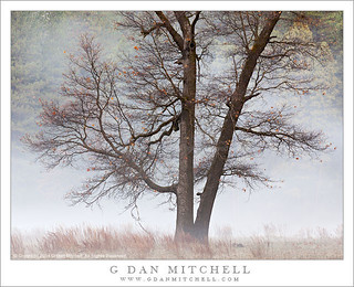 Winter Oak and Fog