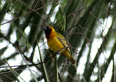 robin(0.0), animal(1.0), eurasian golden oriole(1.0), branch(1.0), nature(1.0), fauna(1.0), finch(1.0), beak(1.0), bird(1.0), wildlife(1.0),