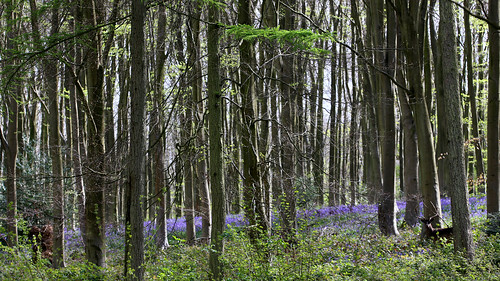 The deer and the bluebells