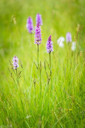 flowers österreich orchids pflanzen blumen steiermark dactylorhiza orchideen leoben göss