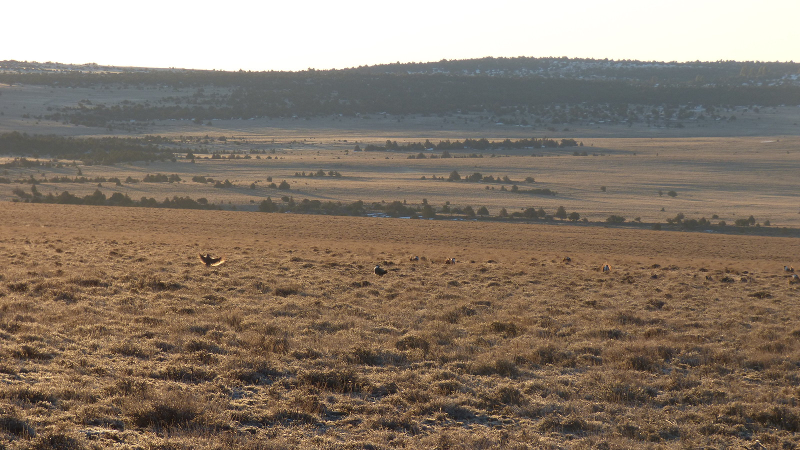 greater sage grouse in southern Oregon