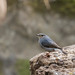 Plumbeous Water Redstart by Bruno Conjeaud