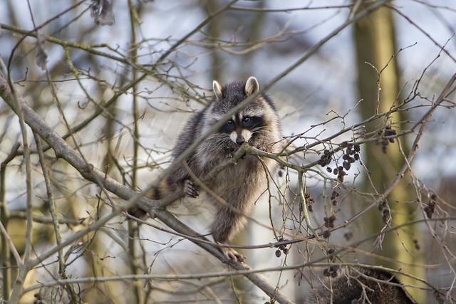 Raccoon in the tree