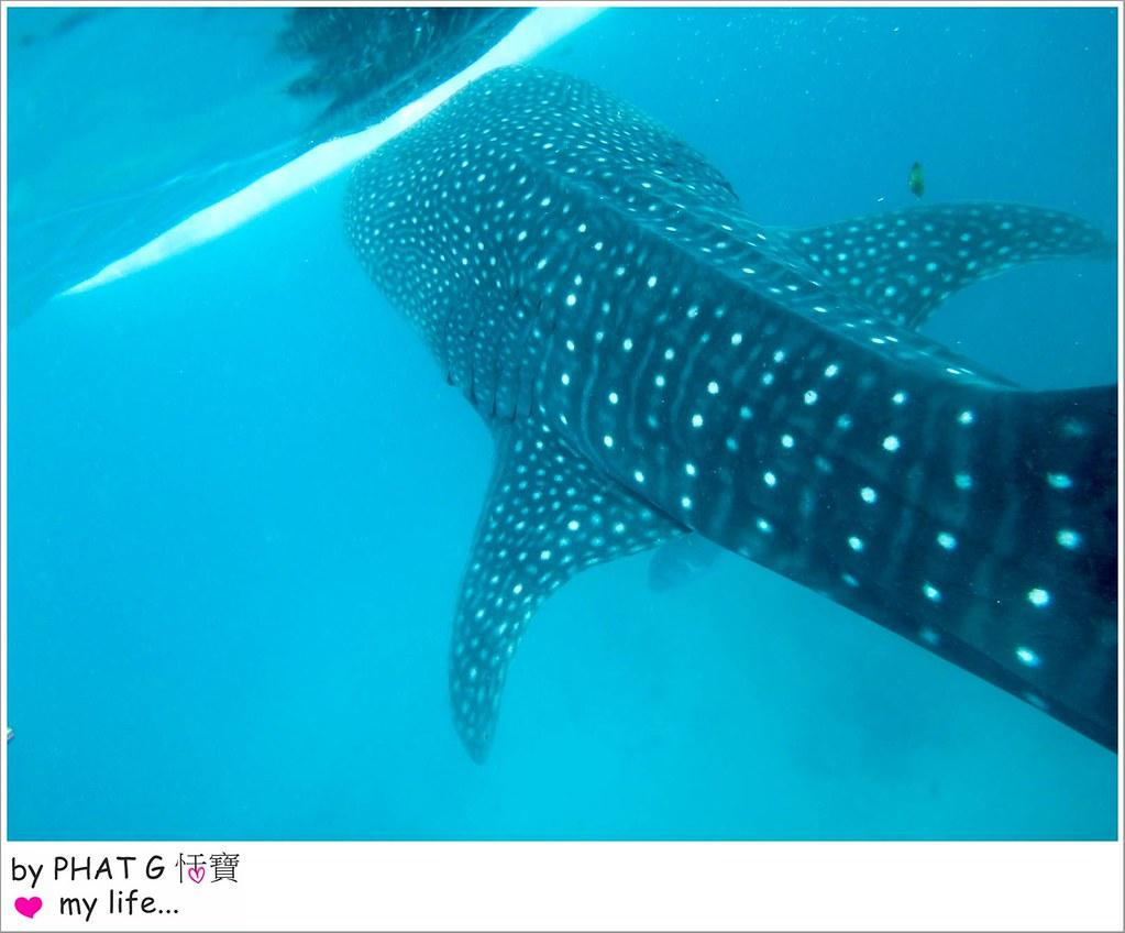 cebu whale shark 18-2