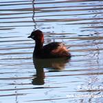 Aves en las lagunas de La Guardia (Toledo) 19-3-2017
