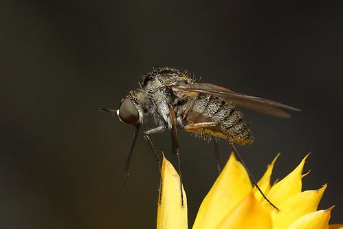 Slender Bee Fly