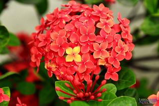 SIMPLEMENTE UNA FLOR. SIMPLY A FLOWER. GUAYAQUIL - ECUADOR.