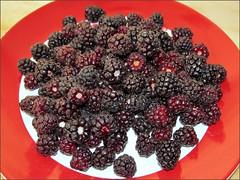 First blackberry harvest 2013