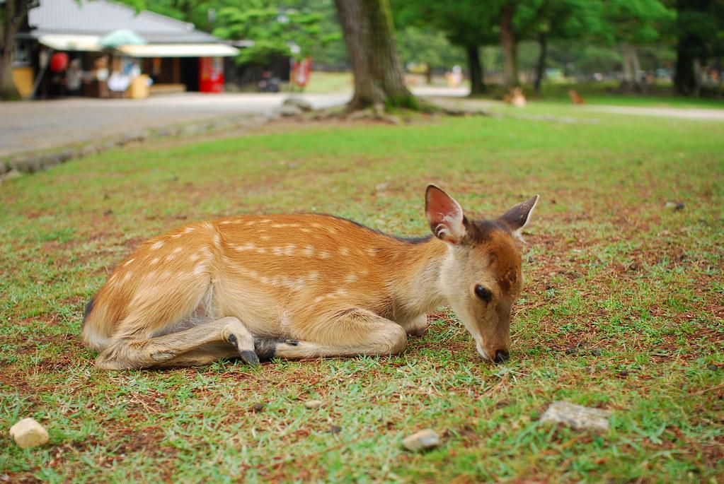 座っても草を食む若鹿