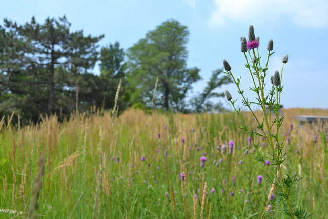 Dalea purpurea (purple prairie clover) in the foreground of the living roof landscape. Photo by Blanca Begert.