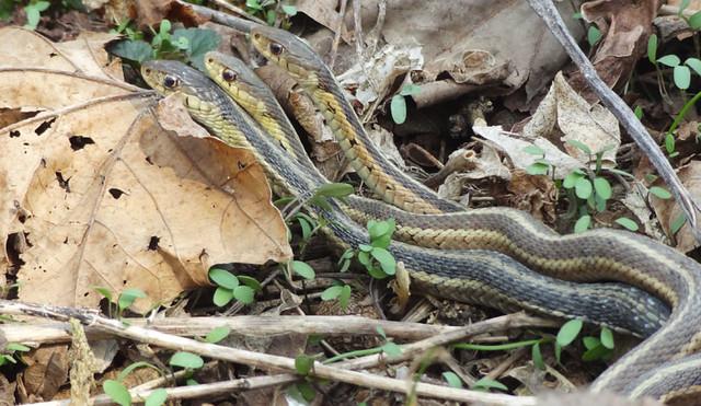 snake-orgy