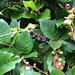 Small photo of Salal berries