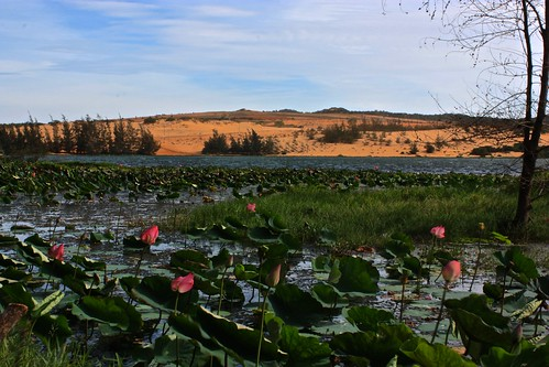 lily pads and sand dunes