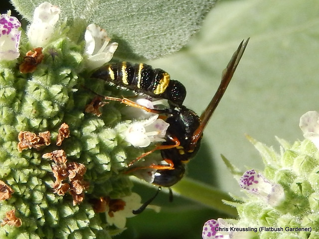/Philanthus gibbosus/, Beewolf, on /Pycnanthemum muticum/, Clustered Mountain-Mint
