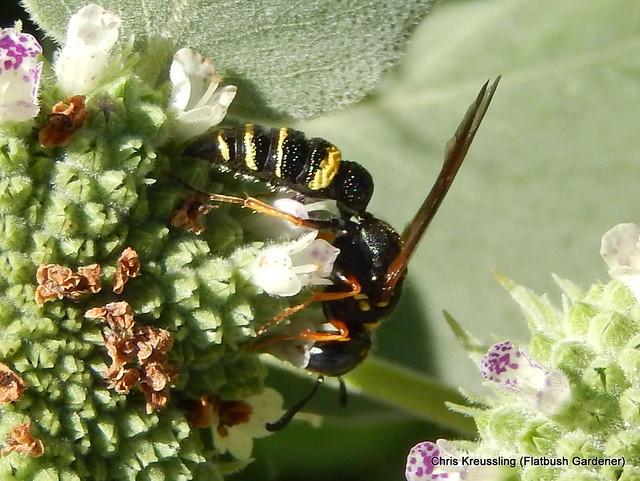 /Philanthus gibbosus/, Beewolf, on /Pycnanthemum muticum/, Clustered Mountain-Mint