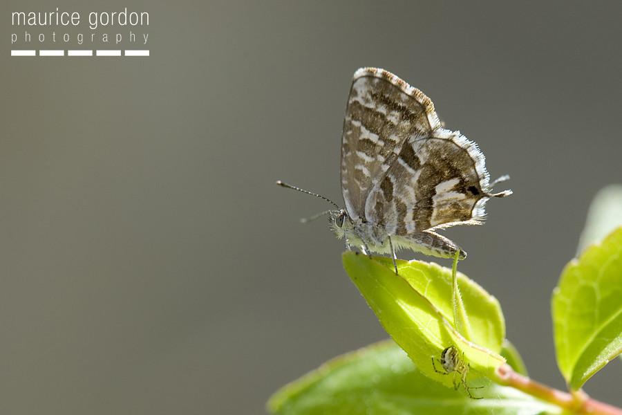 geranium-bronze_DSC5325
