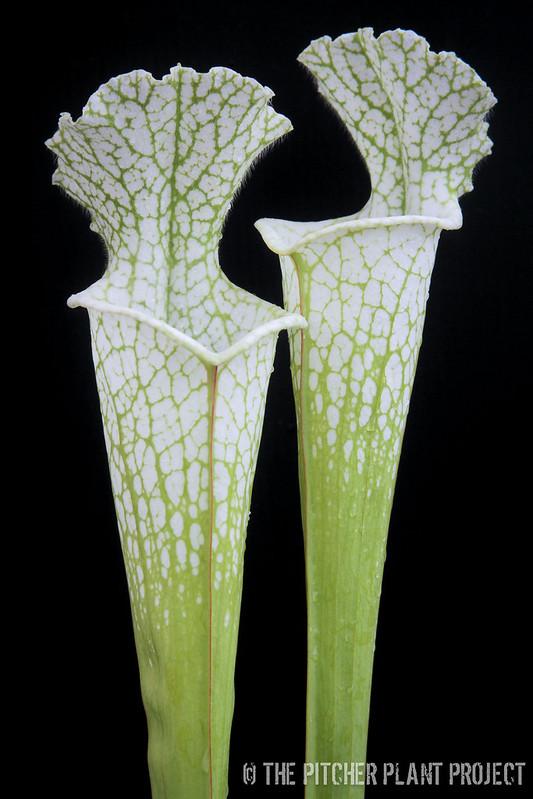 Sarracenia leucophylla HCWSarracenia leucophylla 'Hurricane Creek White' - Clone C
