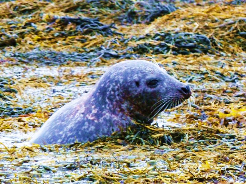 Common Seal, Isle of Skye, Scotland